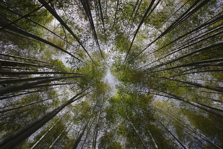 Directly below shot of bamboo trees in forest