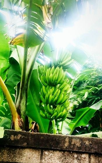 Bananas's Tree.. Bananas Bananatrees Green Color Unripe Banana Beauty In Nature Close-up No People Growth Outdoors Food Freshness Fruit BananaLeaf Eye4photography  Sunny Day Thesky Brightday☀ Nature Agriculture Plant Bunches Of Bananas Banane Banana Fruit Banana Skin Banane Blossom