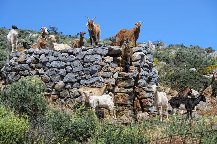 Goats on rocks and field against clear sky