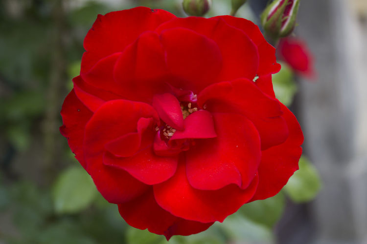 Camon Red Rose - France Beauty In Nature Blooming Close-up Flower Flower Head Fragility Freshness No People Outdoors Petal Red Rose - Flower