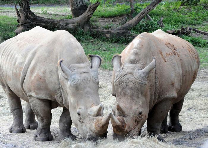 Disney Nature Animal Kingdom Animals Kilamanjarosafari Rhinoceros Safari Animals Wildlife