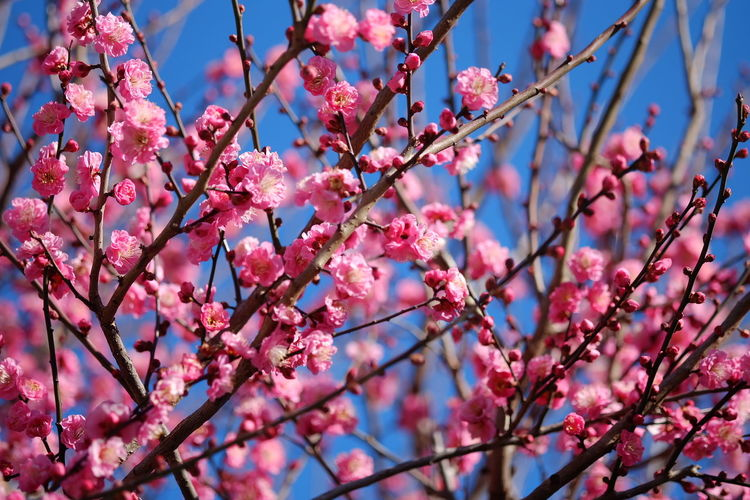 Japanese Plum Blossom Flowers Flowerporn The Purist (no Edit, No Filter) EyeEm Nature Lover Spring has come♡ Colour Of Life
