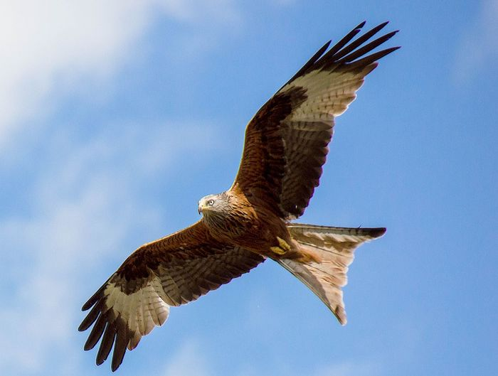 Taken outside Harewood village Nr Leeds Red Kites Red Kite In Flight Animal Themes Animal Wildlife Animals In The Wild Bird Bird Of Prey Flying Mid-air