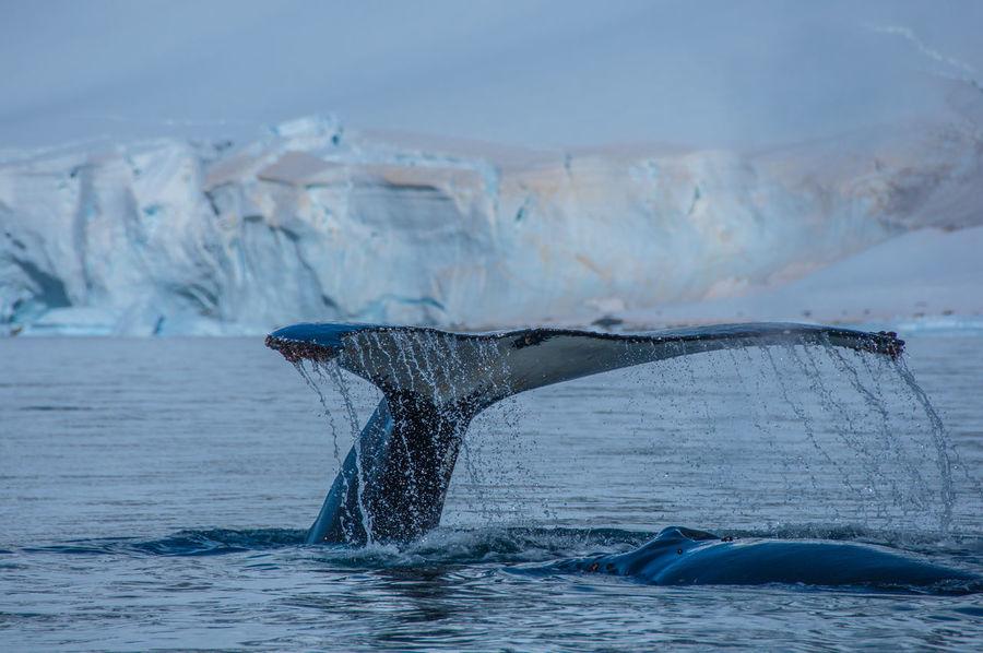 Whale Fin Whale Watching Whale Antarctica Antarctic Peninsula Snowcapped Mountain Sea Iceberg Ziseetheworld Ziwang Whale Tail Whale Fluke Tail Fin