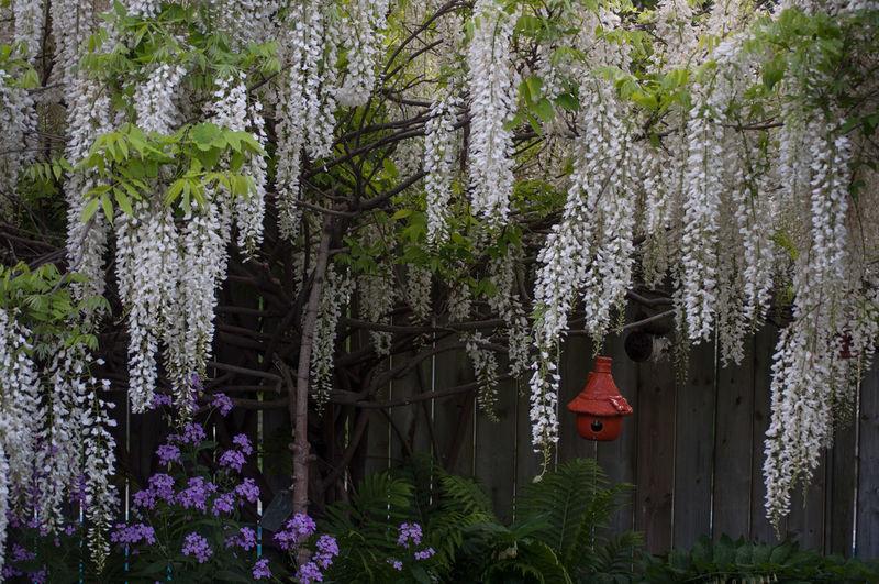 Panoramic shot of cherry blossom hanging from tree