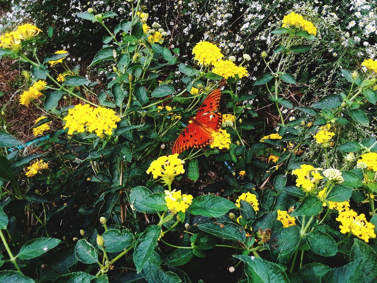 flower, plant, flowering plant, growth, yellow, beauty in nature, fragility, vulnerability, nature, freshness, day, plant part, petal, leaf, no people, flower head, close-up, green color, inflorescence, high angle view, outdoors, lantana, butterfly - insect, springtime, animal wing, butterfly