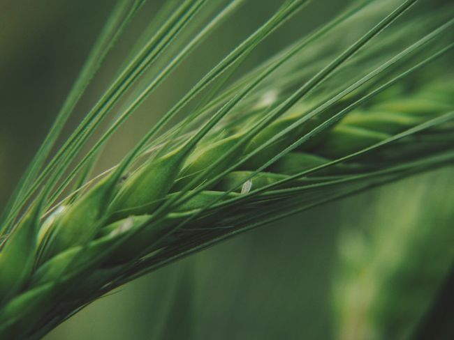 Agriculture Beauty In Nature Blade Of Grass Cereal Plant Close-up Crop  Day Field Focus On Foreground Freshness Green Color Growth Land Leaf Nature No People Outdoors Plant Plant Part Rural Scene Selective Focus Wheat