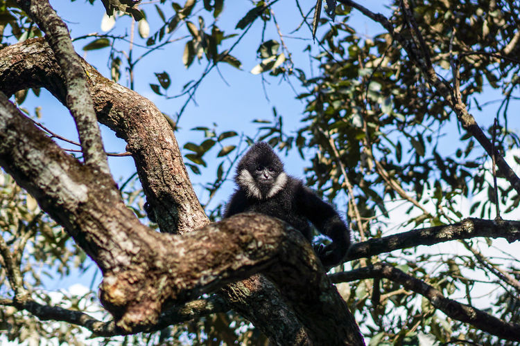 Low angle view of northern white-cheeked gibbon on tree