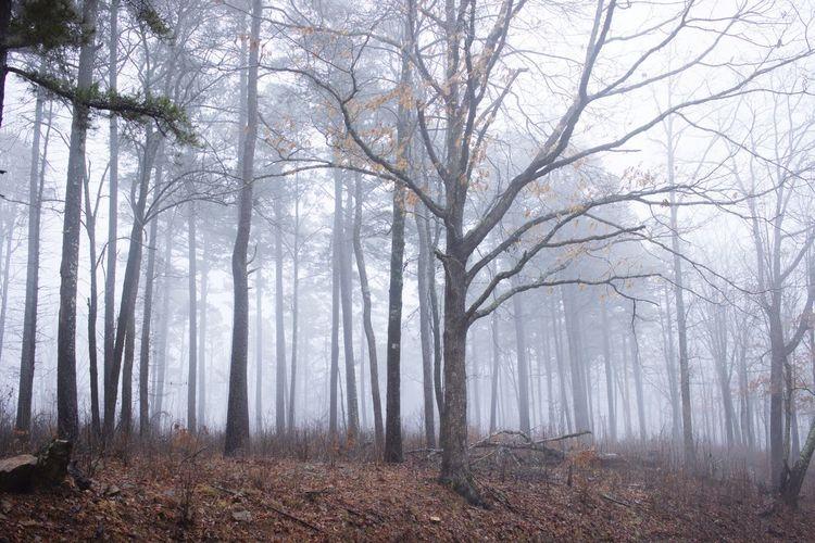 Foggy Mountain Landscape Foggy Morning Fog Landscape_photography Ozarks Of Arkansas Ozark Mountains Arkansas Outdoors Branch Autumn Tree Trunk Leaf Pine Tree Tree Area WoodLand