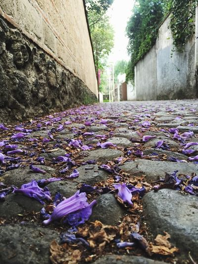 Jacaranda Mexico City Picoftheday Flower Nature Beauty In Nature Plant Outdoors Fragility Tree Road Walking Around Empedrado Old Street Petal My Way Day The Secret Spaces