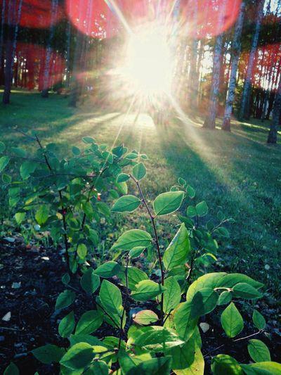 Narute Trees Sun