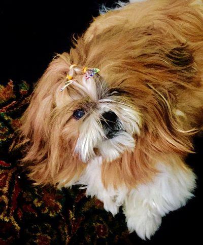 For @svetlana Joey One Animal Pets Dog Shitzu