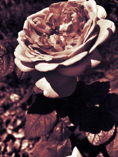 2nd edit The Flowers Series Flowers,Plants & Garden In Between The Flowers~entre Las Flores EyeEm Nature Lover Flower Collection Flowers Flowerporn Roses EyeEm Best Edits