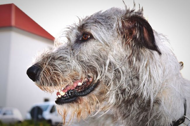 Animal Head  DogslifeDogwalk Cheese! Dog Of The Year 2016 Showcase August Irish Wolfhound Cearnaigh Summer 2016 The Places ı've Been Today Dog Of The Day Dogs Of The World Bokeh Portrait Hello World Summer ☀ Dogs Of Summer August 2016 Close-up Domestic Animals How Is The Weather Today? Dogs Of EyeEm Dog Of My Life August2016