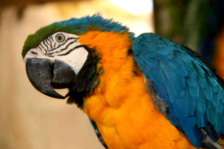 Parrot Animal Wildlife Feather  One Animal Bird MacawGold And Blue Macaw Blue Black Yellow Outdoors❤ Day Turquoise Outdoors Egypt Alexandria Egypt EyeEm Selects Africano Park Beauty In Nature Colors Colorful Animals In The Wild