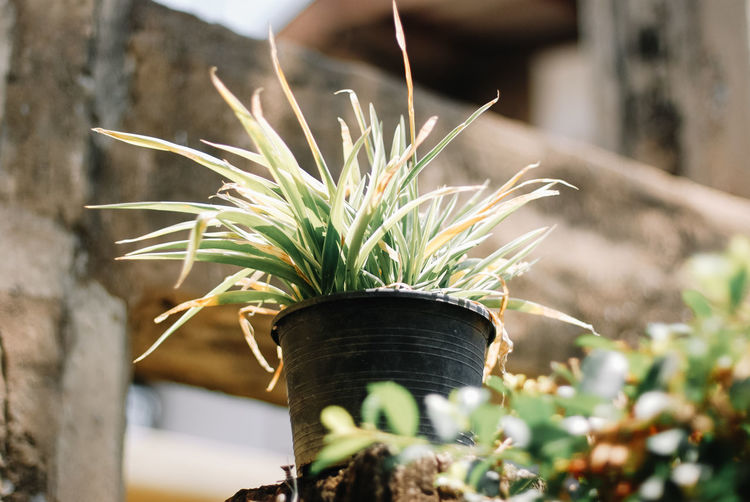 Plant Potted Plant Growth Focus On Foreground Close-up Day Nature Selective Focus No People Beauty In Nature Outdoors Green Color Plant Part Sunlight Leaf Vulnerability  Flower Pot Front Or Back Yard Wall - Building Feature Fragility Houseplant