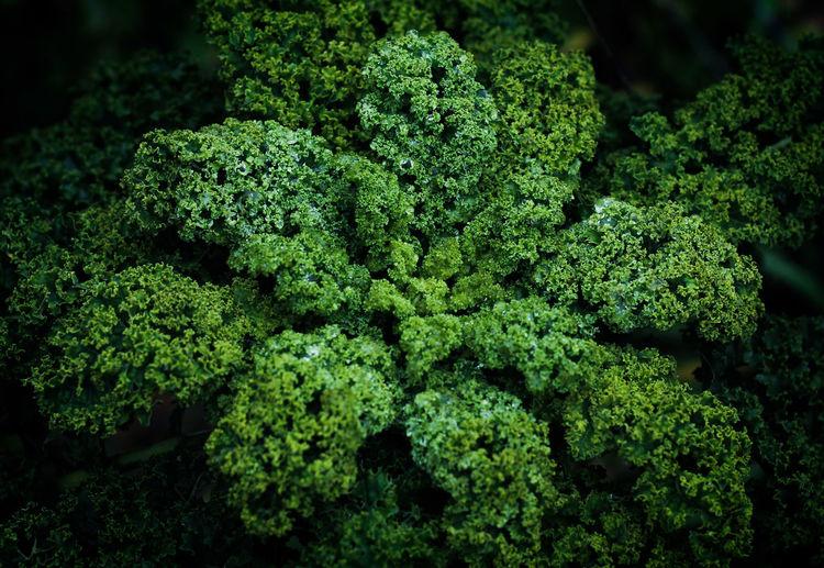 Close-up of garden fresh organic kale.