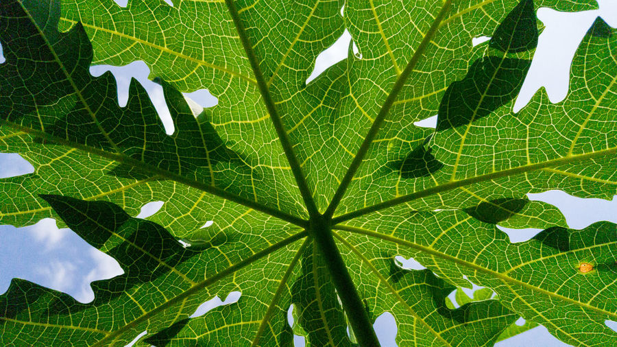 Beauty In Nature Close-up Day Directly Below Food Freshness Full Frame Green Color Growth Leaf Leaf Vein Leaves Low Angle View Maple Leaf Natural Pattern Nature No People Outdoors Pattern Plant Plant Part Tree