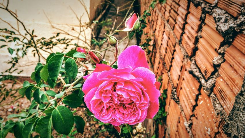 Taking Photos Check This Out Beauty In Nature EyeEm Nature Lover Roseporn Rose🌹 Rose - Flower Flowers,Plants & Garden Flower Collection Flowerporn Beautiful Flowers Beauty Redefined Pink Flower Pink Flowers Pink Rose EyeEm Gallery Roses Flower Picoftheday Nature Photography Nature Everywhere Pretty In Pink Different Colors