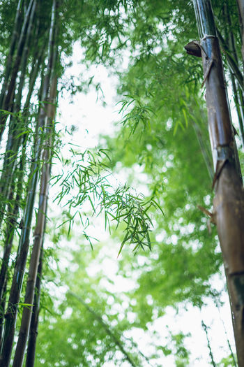 bamboo Tree Plant Low Angle View Growth Green Color Day No People Trunk Nature Tree Trunk Branch Beauty In Nature Tranquility Outdoors Leaf Plant Part Forest Focus On Foreground Land Bamboo - Plant Tree Canopy