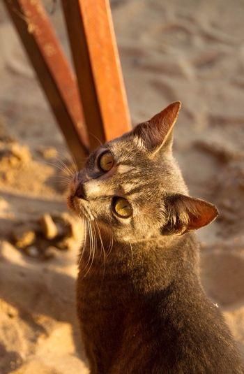 Kitty Cat TabbyCat Tabby Cat Facing Camera Feline Animal Golden Hour Beach Cat