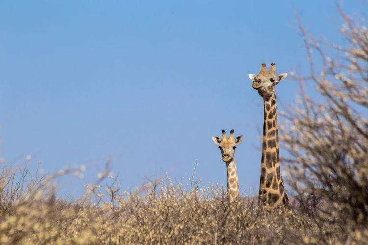 View of giraffe on field against clear sky