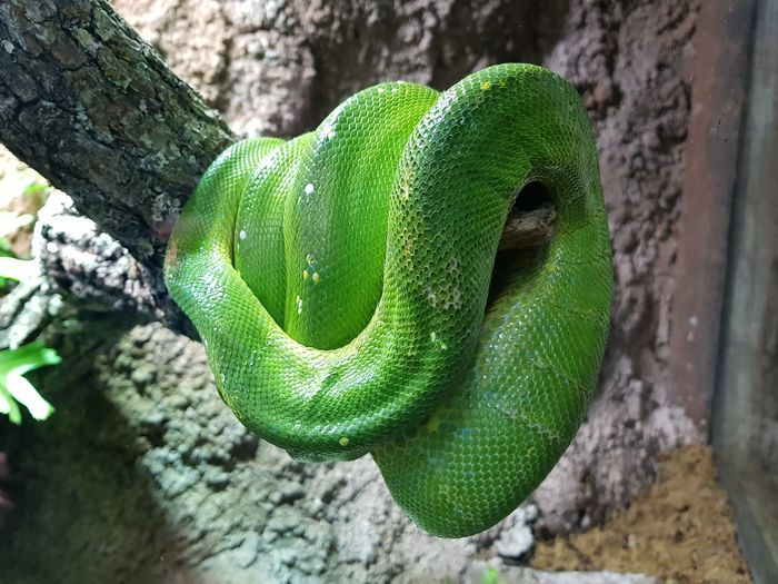 Animal Wildlife Animals In The Wild Green Color One Animal Tree Trunk Close-up Day Animal Themes Reptile No People Nature Outdoors Tree Snake Snakes <3 Snake Photography Snakes Of Eyeem Snakes Snakes♥ Snakes Of Africa