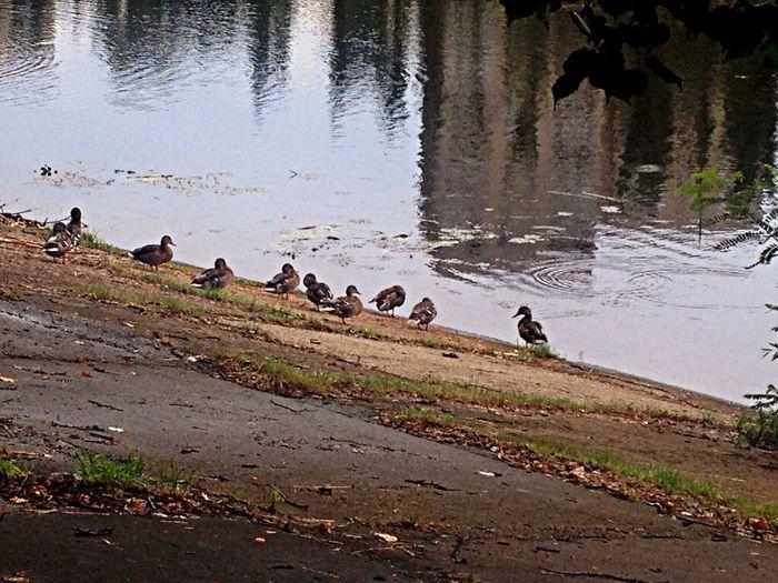 EyeEm Nature Lover Urban ducks))