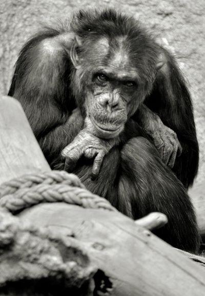 One Animal Primate Animal Wildlife Zoo No People Portrait Nature Monkey Black And White Black And White Photography LeipzigClose-up Zoo Leipzig Animals EyeEmNewHere