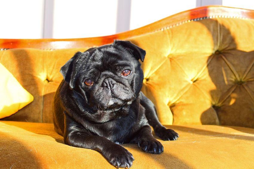 Learn & Shoot: Single Light Source Cute Pets Pug Pet Photography  Pug Life  Dogs Dog