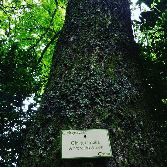 Taking Photos Nature Tree Love Gingkobiloba Açores Portugal Parque Terra Nostra Beautiful