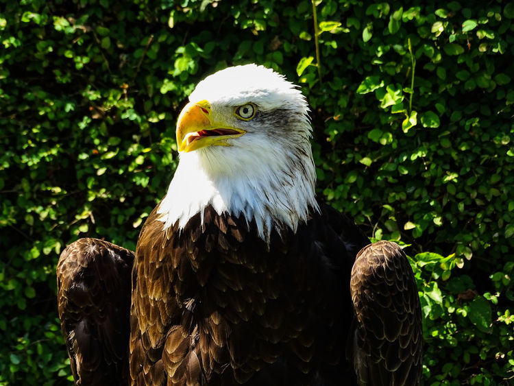 American Eagle Bald Eagle Bald Eagle Portrait Animal Themes Animal Wildlife Animals In The Wild Bald Eagle Bald Eagle Close-up Beak Bird Bird Of Prey Close-up Day Eagle - Bird Nature No People One Animal Outdoors