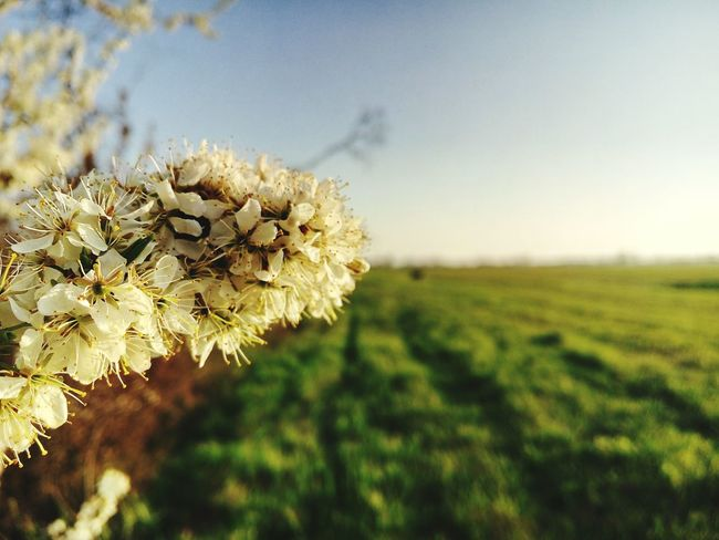 The Power of the Spring Spring Flower Clear Sky Field Sky Close-up Plant Grass Landscape Plant Life First Eyeem Photo