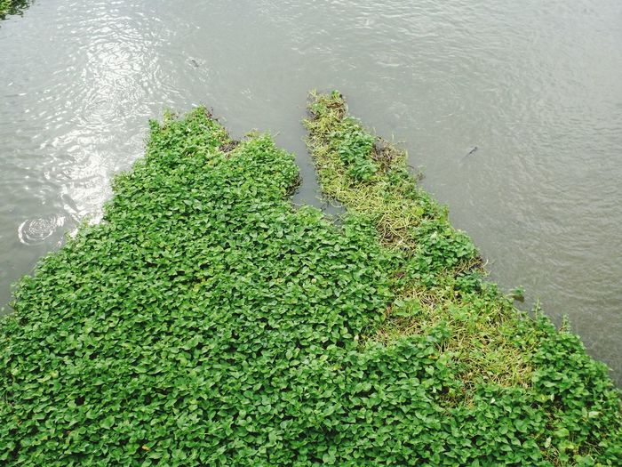 High angle view of fresh green plants in lake
