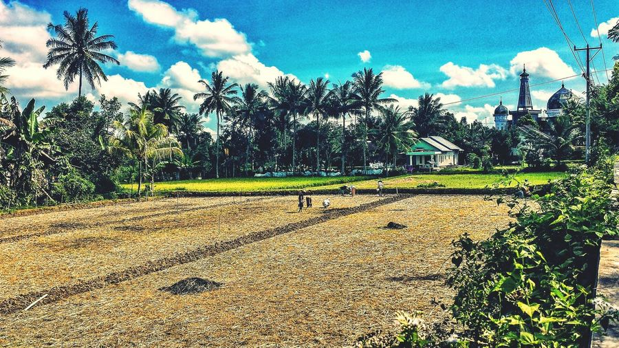 Praya Lombok INDONESIA Rice Paddy Rice Palm Trees Jungle Bucolic Sunshine Outdoors Fields Southeast Asia Afternoon Blue Sky ASIA Clouds Farmers Masjid Mosque Village Village Life