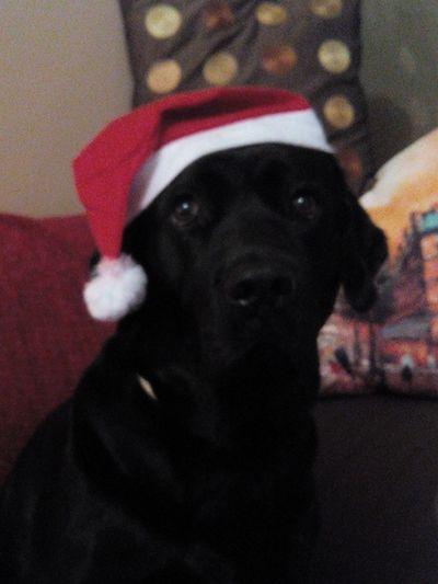 Christmasdog Christmaslab Christmaslabrador Santadog Santaclausdog Caonatal Christmas Decorations Christmastime Caobarrete Labradornatal