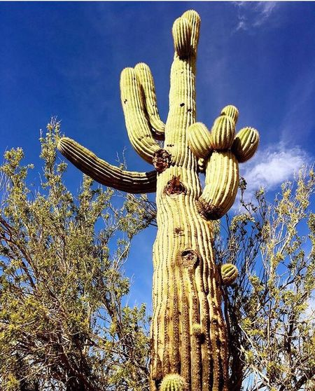 Cactus Saguaro Cactus Tree No People Nature Blue Sky Beauty In Nature Outdoors The Great Outdoors - 2017 EyeEm Awards Outside Outside Photography Cacti Phoenix Arizona Outdoor Photography Nature On Your Doorstep Plant