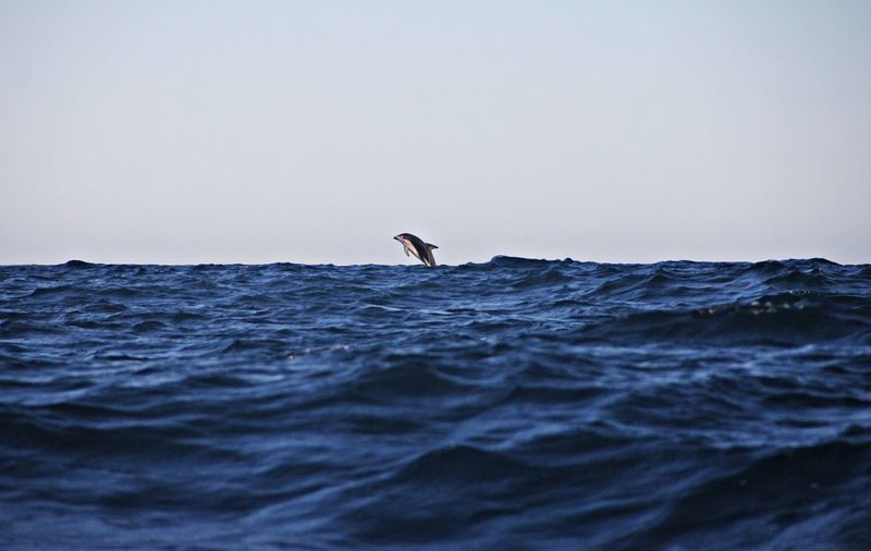 A single dusky dolphin jumping in the distance
