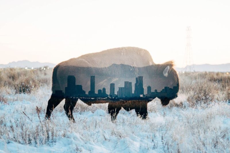 Double Exposure Winter Mountain Bison Been There.