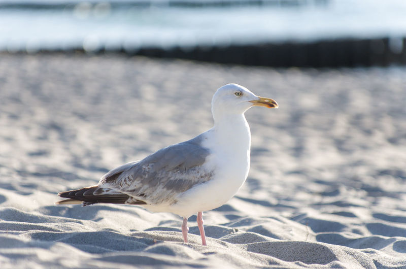Side View Of Seagull On Sand At Beach