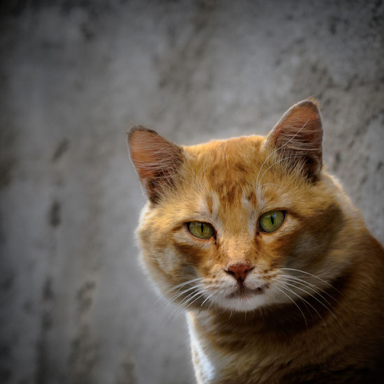 Animal Themes Close-up Day Domestic Animals Domestic Cat Feline Gunbir Looking At Camera Mammal No People One Animal Outdoors Pets Portrait Quad Composition, Portrait Whisker