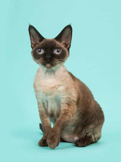 Pretty sitting seal point devon rex cat with blue eyes not looking into the camera on a mint blue background Animal Blue Background Cat Devon Rex Devon Rex Cat Pet Purebred Cat Turquoise