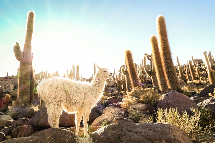 White llama at cactus garden by Isla Incahuasi in Salar de Uyuni - Nature wonder travel destination in Bolivia South America - Wanderlust and animal concept with wildlife lama on warm backlight filter Travel Destination Nature Wonder Alpaca Lama Llama Vicuña Bolivia Uyuni Uyuni Salt Flat Isla Incahuasi Bolivian Cactus Sunset Sunsrise Animal Wildlife Peru Salar De Uyuni Plantation Park Adventure Desert Landscape