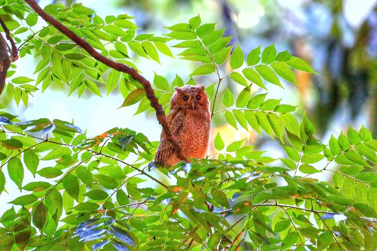 領角鴞 Otus Bakkamoena Otus Scops Owl Animal Themes Animals In The Wild Animal Wildlife Animal Themes Animal Animals In The Wild Plant Low Angle View Leaf One Animal Tree Plant Part No People Nature Green Color Beauty In Nature Day Close-up Growth Insect Invertebrate Branch