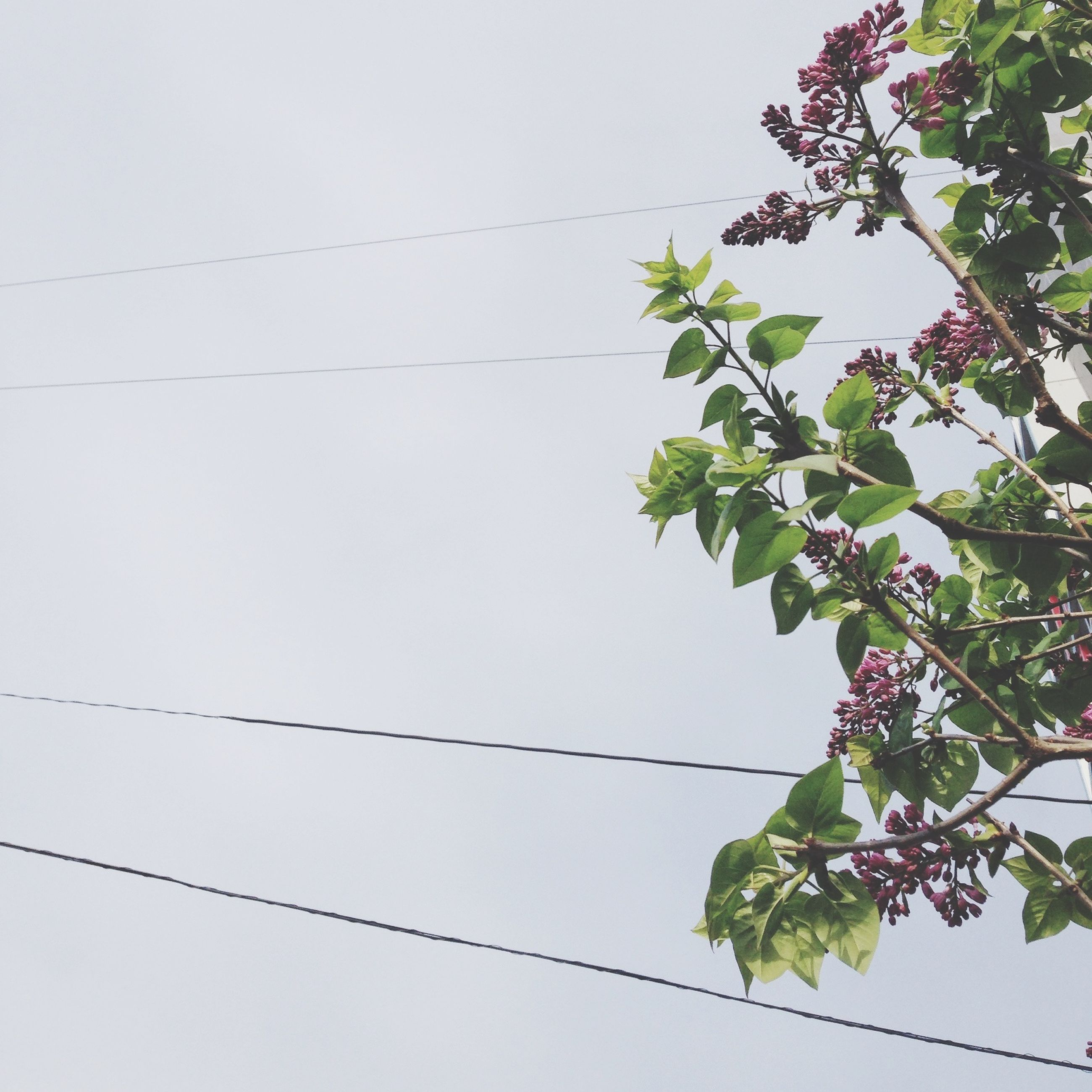 low angle view, growth, leaf, power line, plant, clear sky, nature, cable, branch, green color, tree, copy space, day, beauty in nature, no people, stem, outdoors, power supply, flower, twig