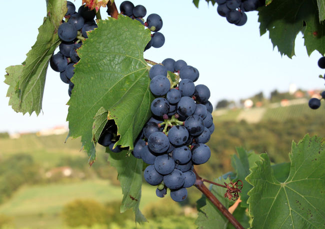 Agriculture Blaue Trauben Blueberry Bunch Close-up Day Focus On Foreground Food Food And Drink Freshness Fruit Grape Green Color Growth Hanging Healthy Eating Juicy Leaf Nature Ripe Rural Scene Trauben Vine Vineyard Wein