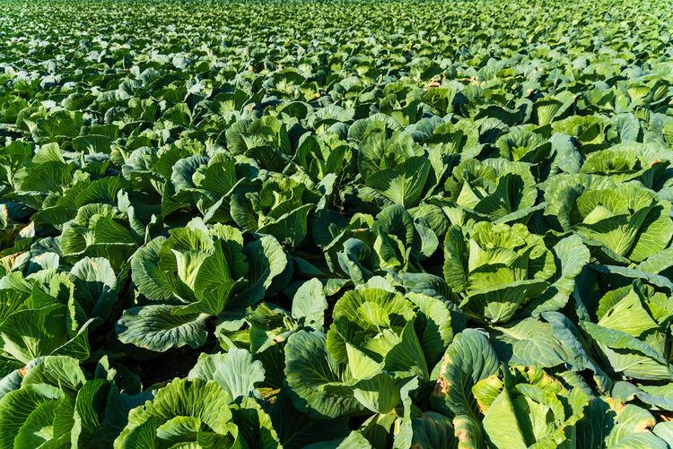 Full frame shot of fresh green field of cabbage