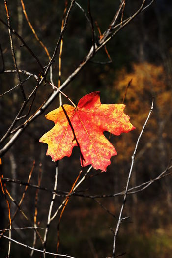 Close-up of maple leaf on branch during autumn