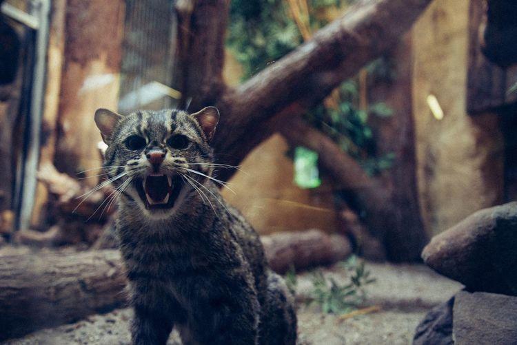 Undomesticated cat snarling