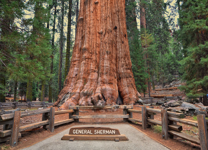 Tree Text Plant Tree Trunk Day Trunk Nature Western Script Travel Destinations No People Forest Land Communication The Past Outdoors Non-western Script Script WoodLand General Sherman Giant Sequoia Redwoods Huge Worlds Biggest Tree Ginormous